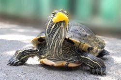 Чим годувати красноухую черепаху