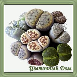 Як доглядати за живими каменями