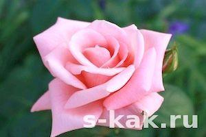 Фото - Як використовувати пелюстки троянд для догляду за шкірою