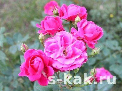 Крем, лосьйон і масло з пелюсток троянд