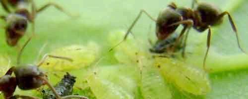 Фото - Як позбутися мурах