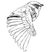 як намалювати птаха олівцем