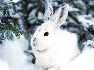 Фото - Як полює на зайця взимку