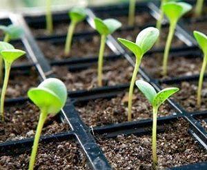 Фото - Як підготувати землю для розсади