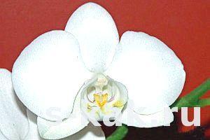 Фото - Як поливати орхідею фаленопсис