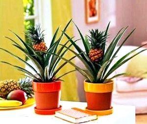 Фото - Як посадити ананас з верхівки