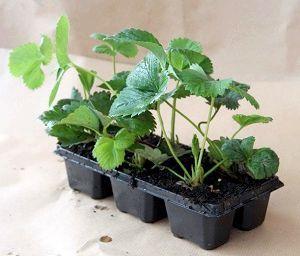 Фото - Як посадити суницю насінням
