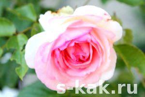 Фото - Як вкривати троянди на зиму