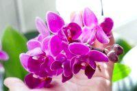 Фото - Чому орхідея не цвіте?