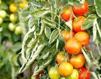 Фото - Чому скручуються листя у томатів?