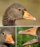 Фото - Чому у птахів немає зубів?