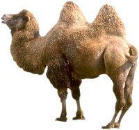 Фото - Чому у верблюда горб?
