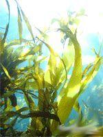 Фото - Чому водоростям не потрібні коріння?