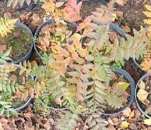 Фото - Посадка горобини восени
