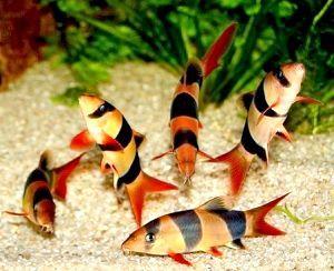 Боцій клоун в акваріумі